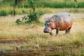 hippo mascot cartoon character vector download