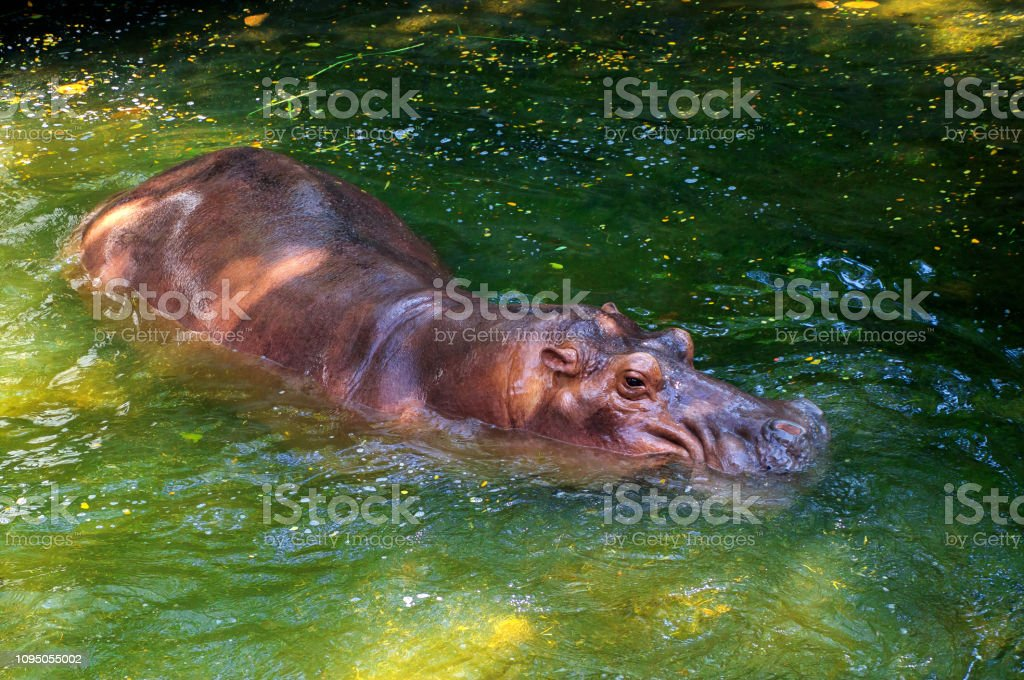 Hippo in green Water stock photo