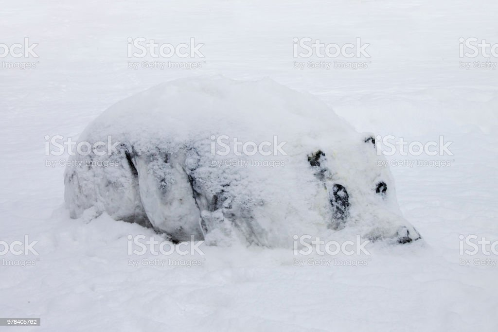 Hippo in snow during cold winter. stock photo