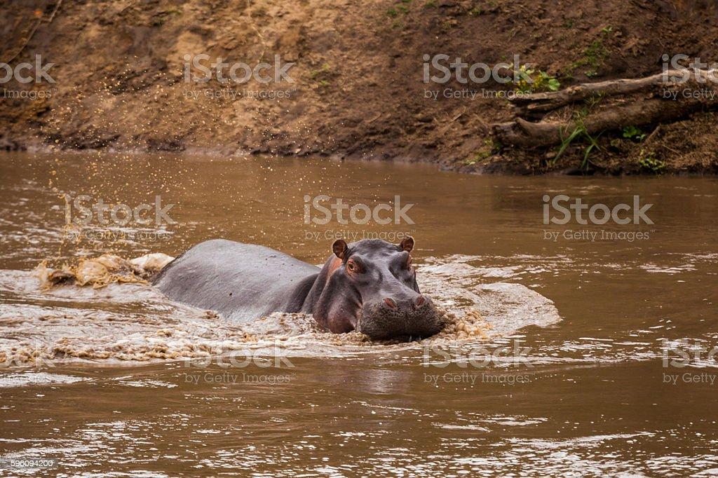 Hippo in the lake. Kenya National Park. Africa. Lizenzfreies stock-foto