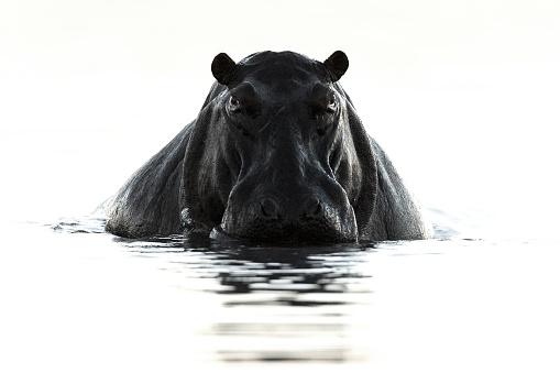 Hippopotamus on white with dirty feet