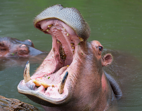Animal mammal hippo mother baby young born grass wildlife Africa nature savanna water