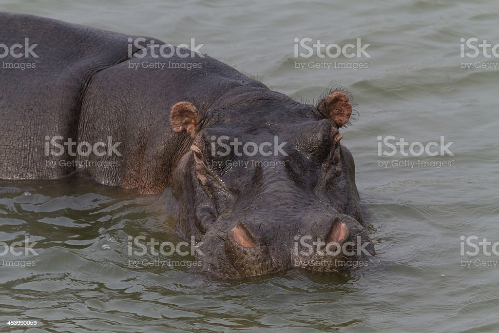 Hippo in the water stock photo