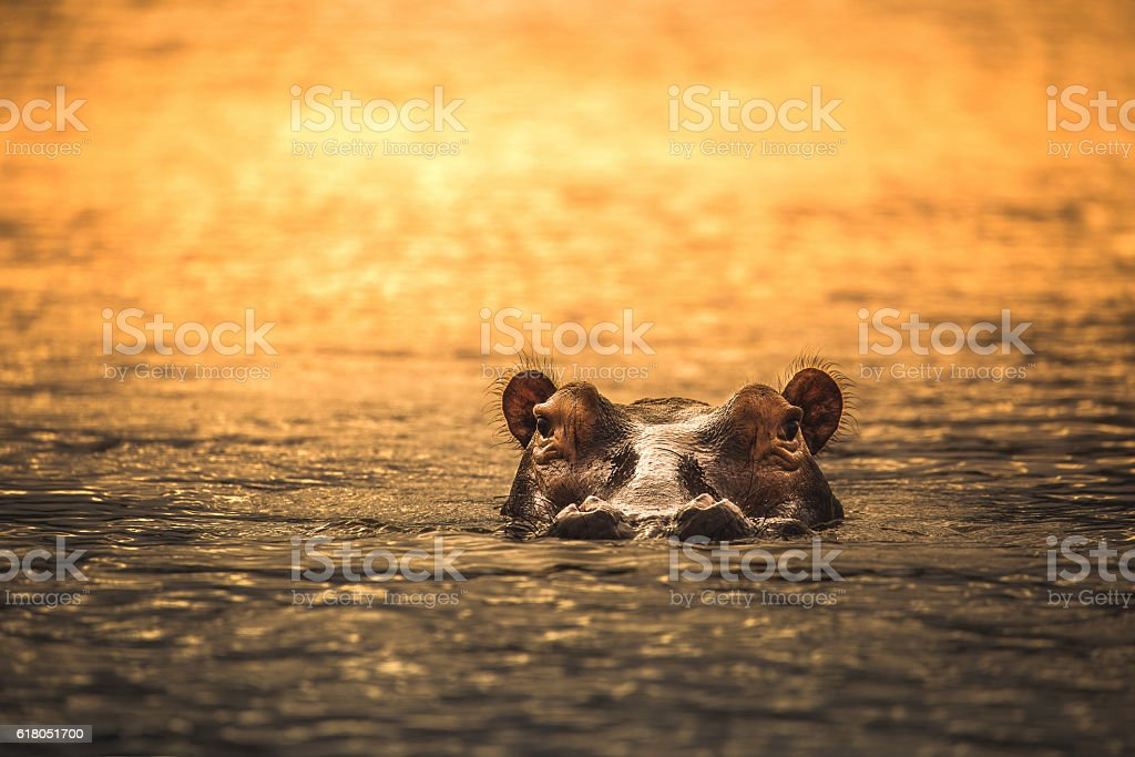 Hippo in the Wild stock photo