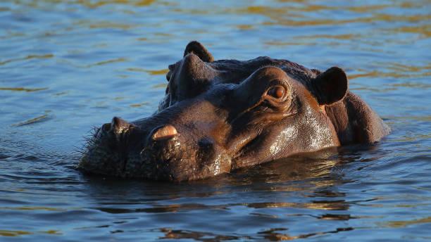 hippo in sambesi - fluss sambesi stock-fotos und bilder