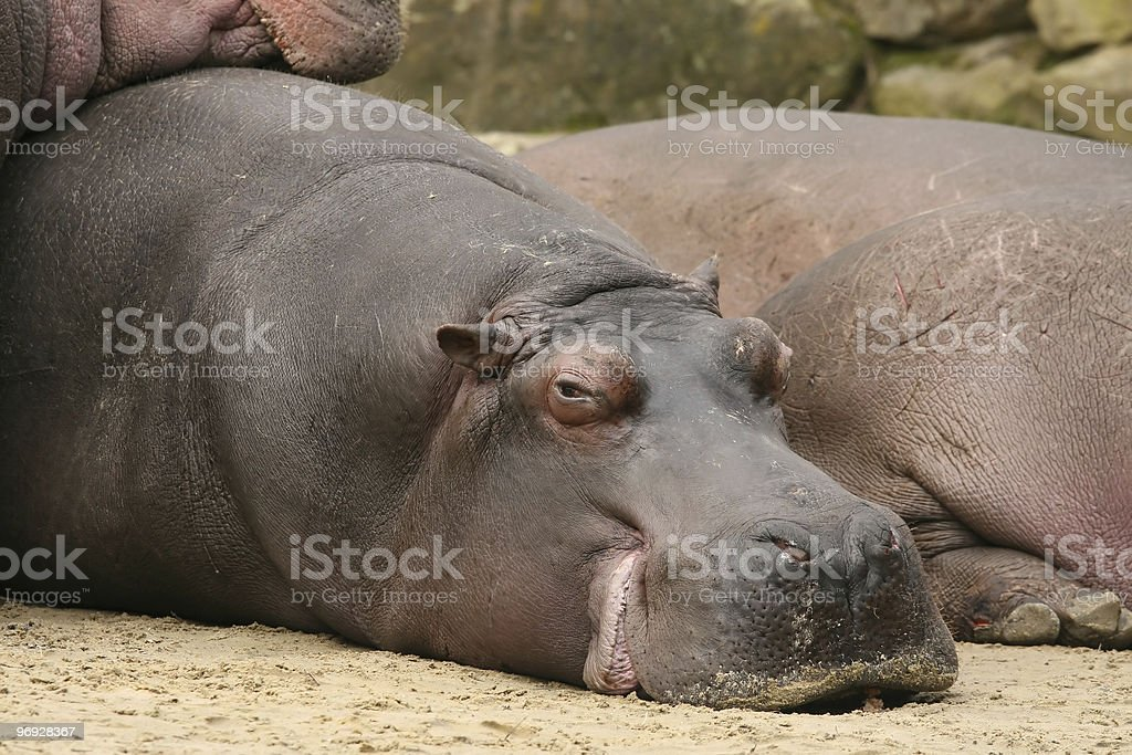 Hippo laying on the ground and looking at you royalty-free stock photo