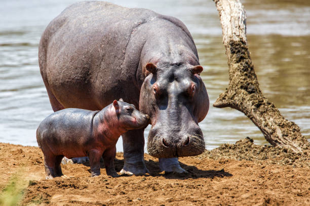 Hippo mother with baby in Kenya stock photo