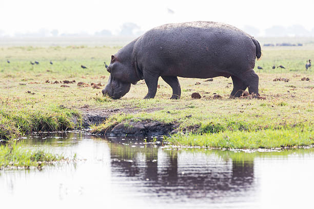 hippo on island in chobe river - hippo tail stock photos and pictures