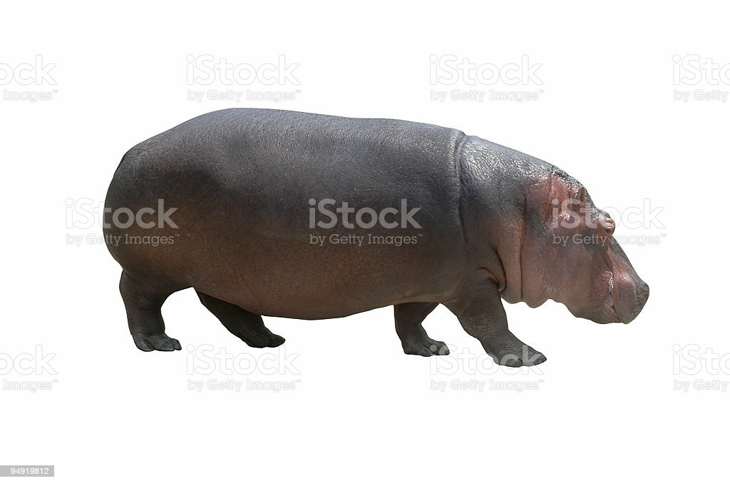 Hippo on white stock photo