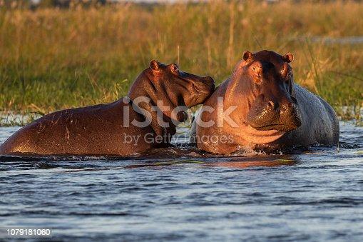istock Hippo 1079181060