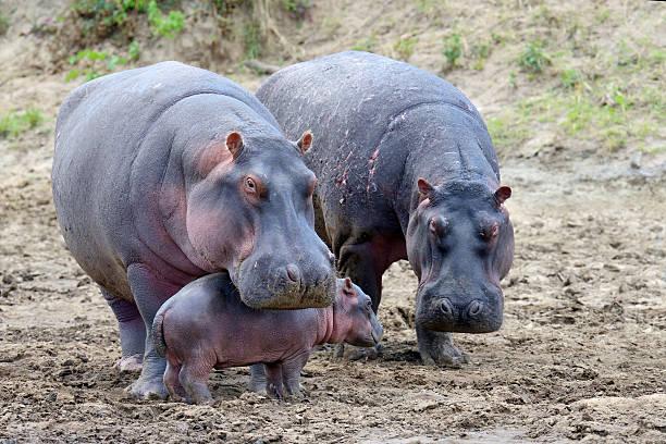 Hippo (Hippopotamus amphibius) stock photo