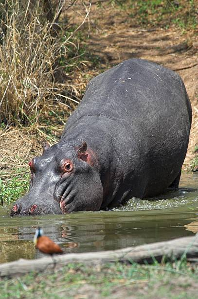 hippo - hippo tail stock photos and pictures