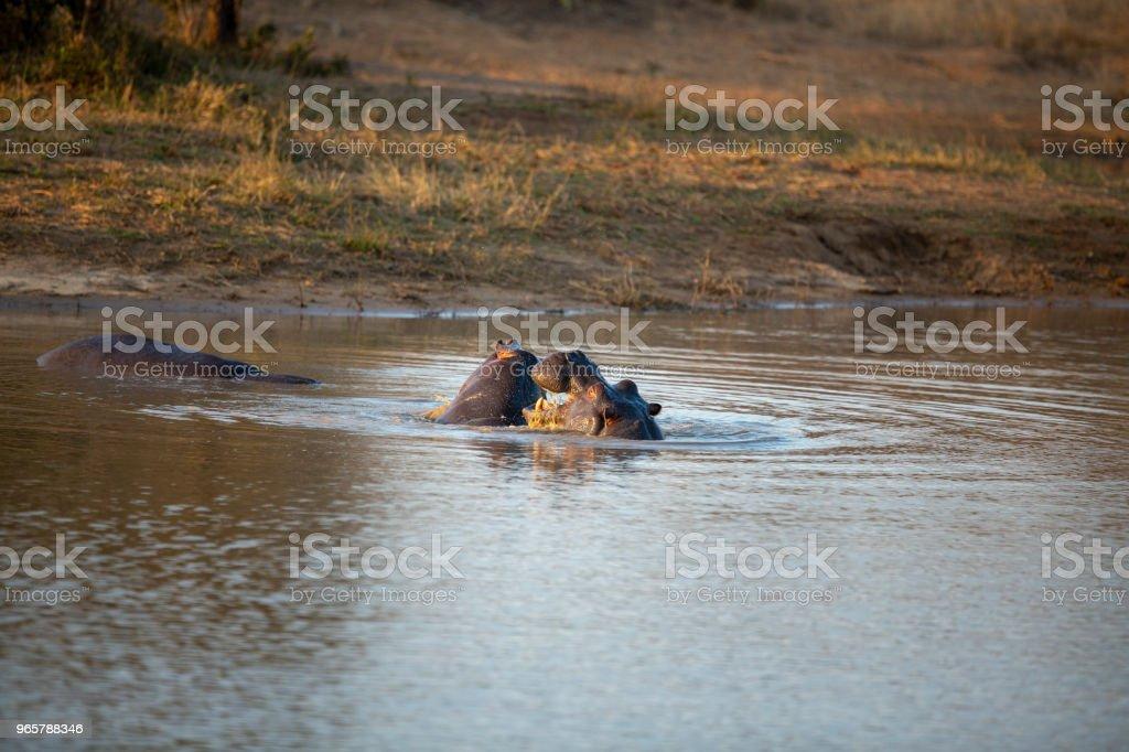 Hippo spelen in het water - Royalty-free Buitenopname Stockfoto