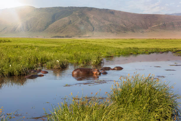 Hippo pool in Ngorongoro crater. Hippo pool in Ngorongoro crater, Tanzania, Africa, Safari. ngorongoro conservation area stock pictures, royalty-free photos & images