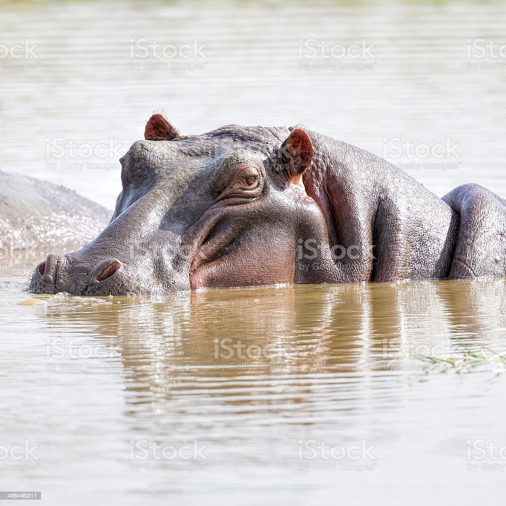 Hippo portrait in water royalty-free stock photo