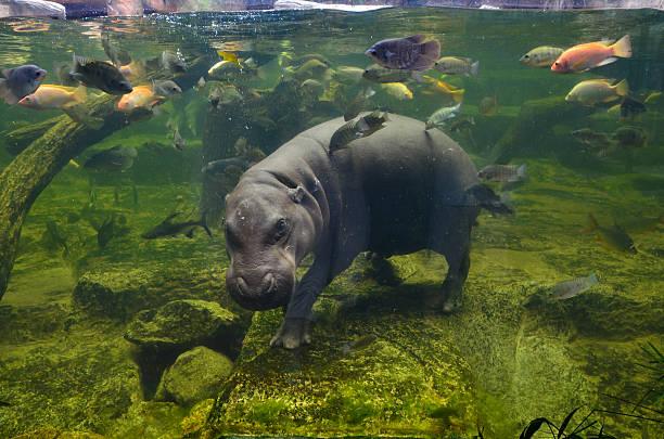 Hippo, pygmy hippopotamus under water stock photo