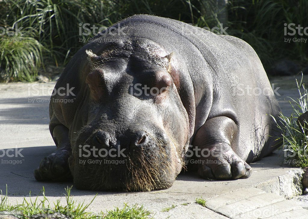 Hippo Relaxing royalty-free stock photo