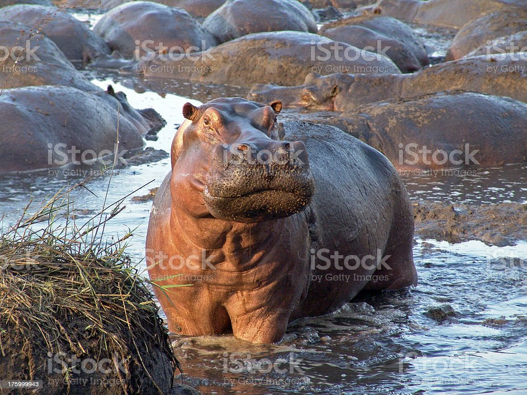 Hippo Surprise royalty-free stock photo