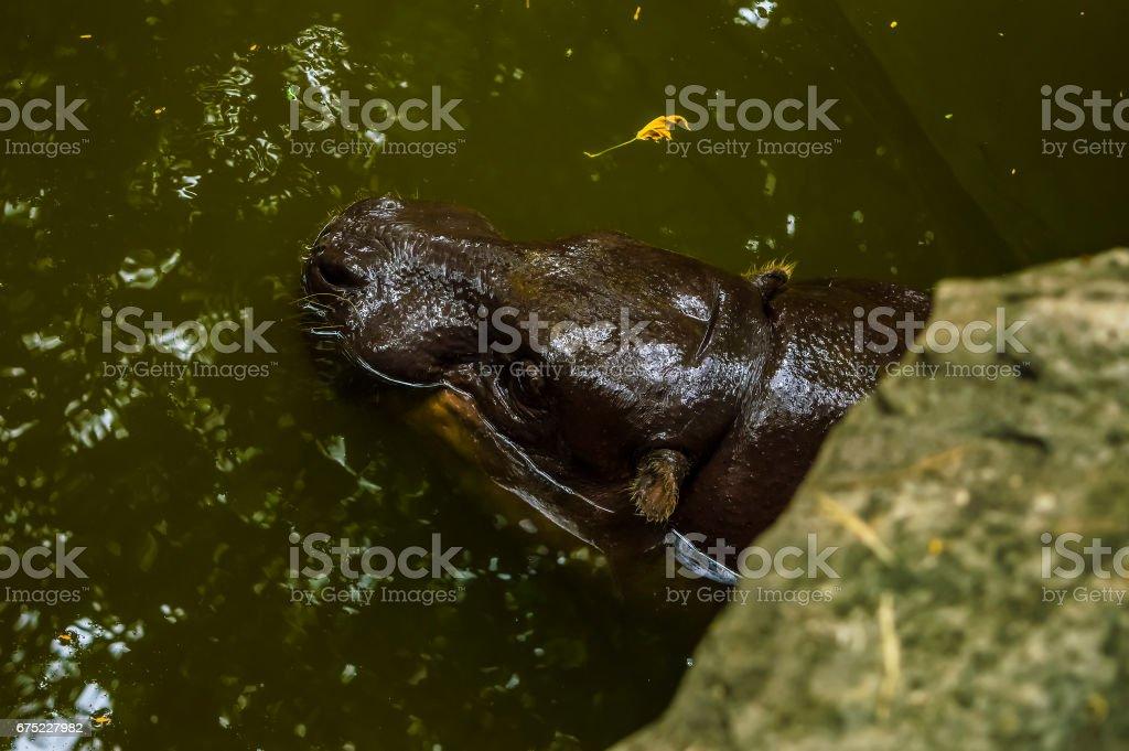 Hippo Swimming royalty-free stock photo