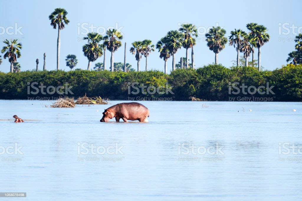 Hippo, marcher dans la rivière Rufiji, en Tanzanie - Photo