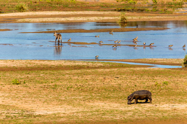 hippo, water buck and geese at river - hippo tail stock photos and pictures