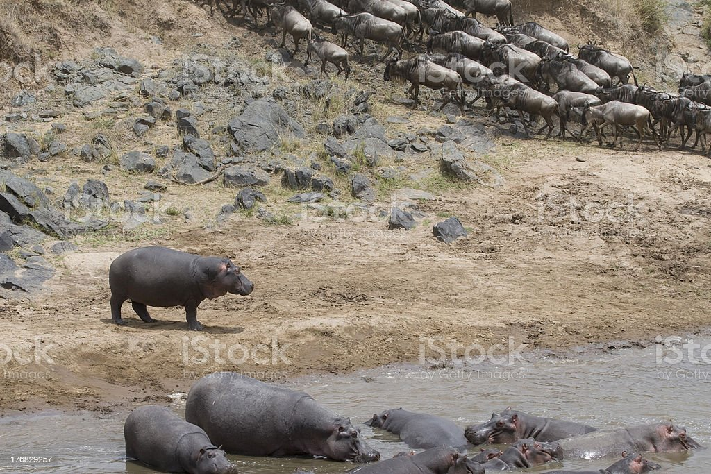 Hippo & wildebeest during the migration. royalty-free stock photo