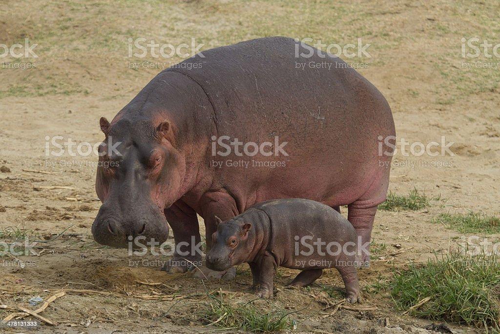 Hippo with baby hippo stock photo