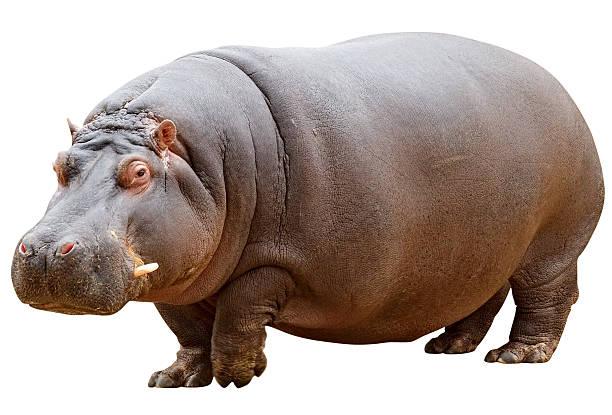 hippo mit clipping path auf weißem hintergrund - safari tiere stock-fotos und bilder