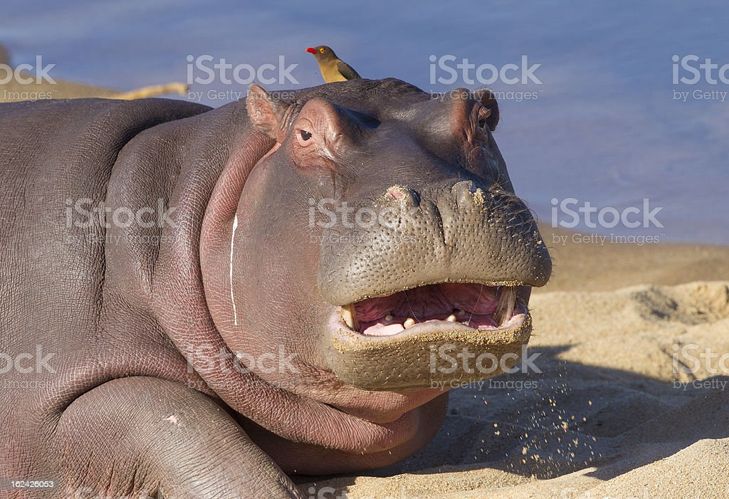 Hippo with mouth open, South Africa royalty-free stock photo