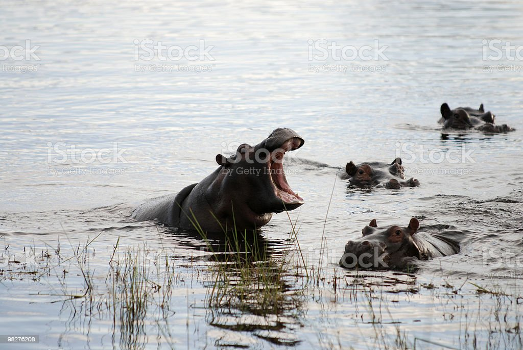 Hippo with opened mouth royalty-free stock photo