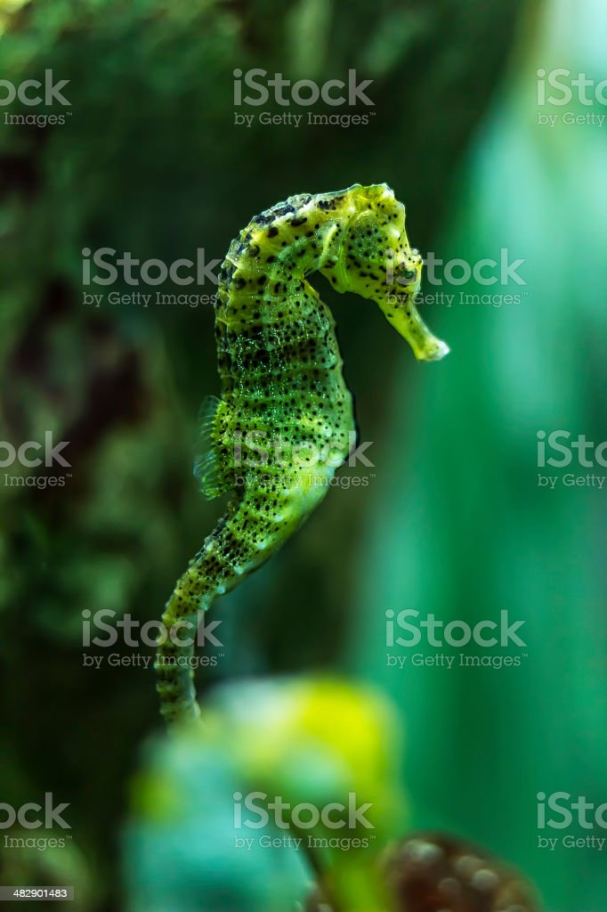 Hippocampus kuda Seahorse stock photo