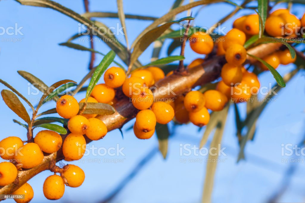 Hippophae branch with bright yellow berries. stock photo