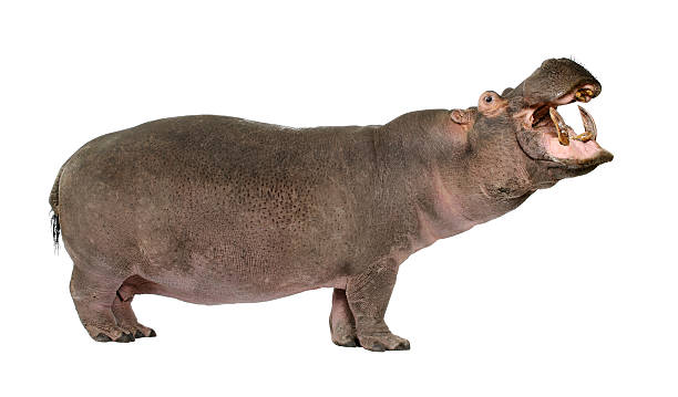 Hippopotamus amphibius (30 years) stock photo