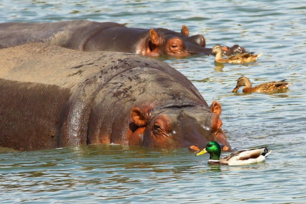 Hippopotamus and dack Hippopotamus and dack in the water antagonize stock pictures, royalty-free photos & images