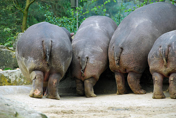 hippopotamus and humor - hippo tail stock photos and pictures