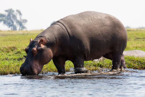 A hippopotamus in the water with it's mouth wide open.