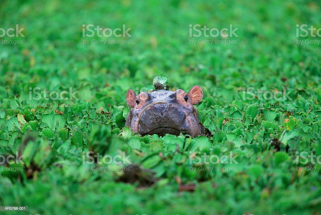 하마 (하마 amphibius) 캘프, 탄자니아 royalty-free 스톡 사진