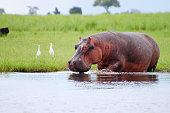 A cute little Hippo looks at the camera while in the water