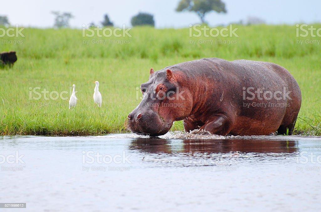Hippopotamus - Chobe National Park - Botswana stock photo