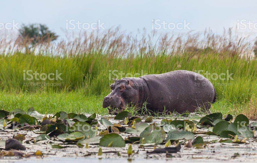 Hippopotamus chomping at the edge of the Chobe River, Botswana, Africa stock photo
