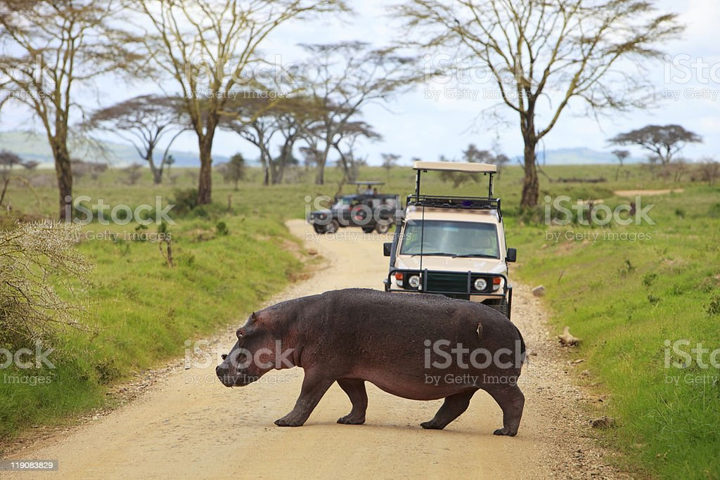 Hippopotamus crossing in front of tourist jeep royalty-free stock photo