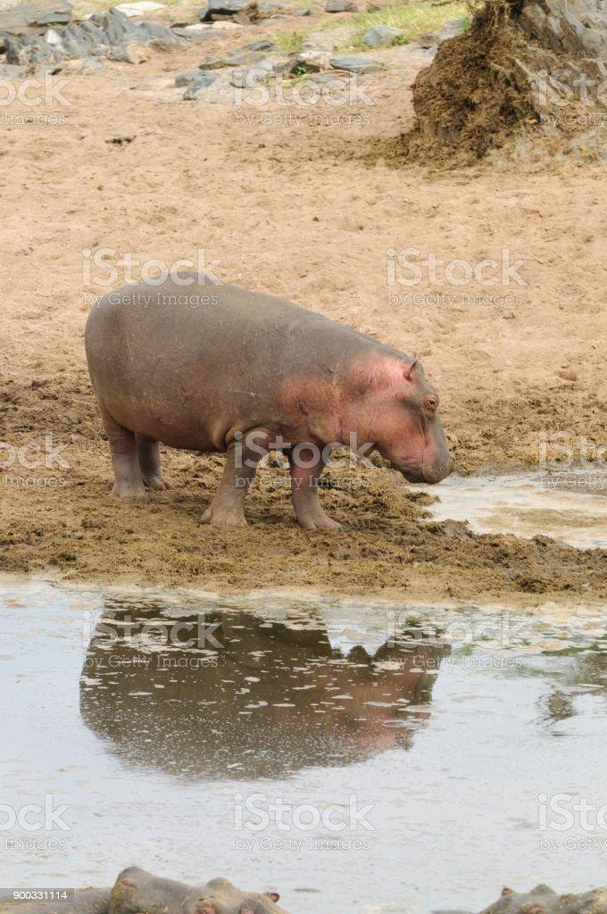 Hippopotamus entering water stock photo