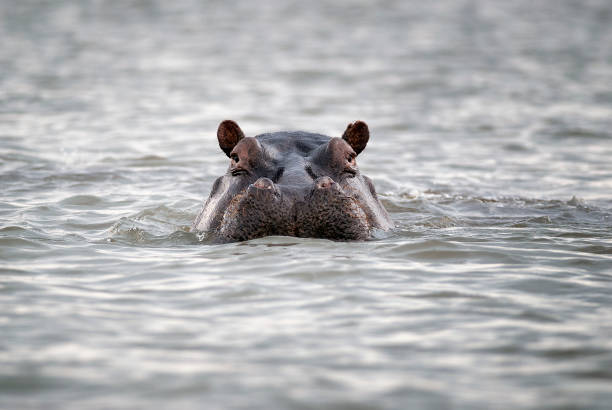 Hippopotamus head sticking out of water. Hippo in water stock photo