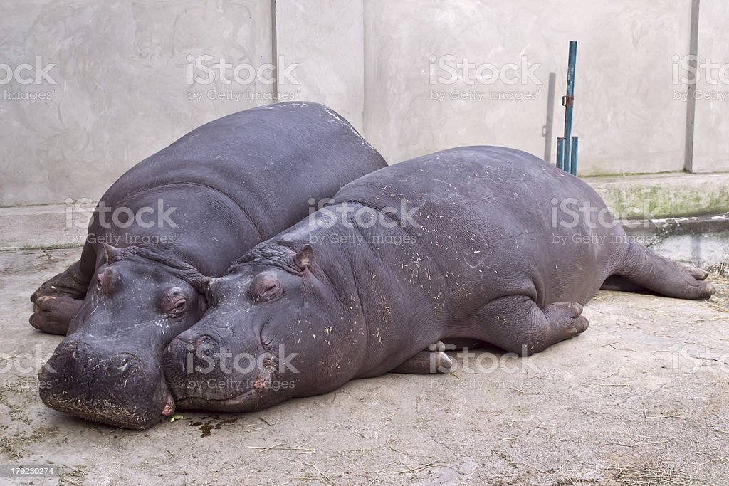hippopotamus Hippo and her cub sleeping animal in zoo stock photo