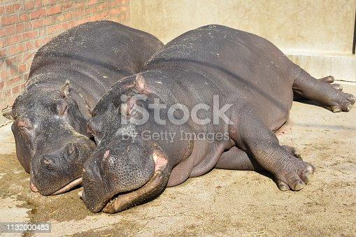 hippopotamus, Hippopotamus amphibius, or hippo