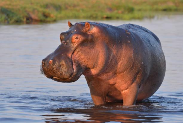 Hippopotamus in a river stock photo