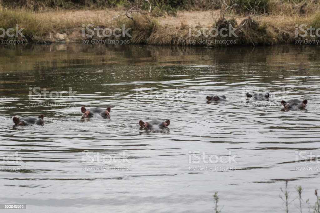 Hippopotamus in Kruger National park, South Africa stock photo