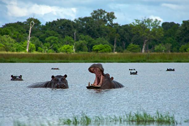 Hippopotamus in Okavango Delta - Moremi National Park stock photo