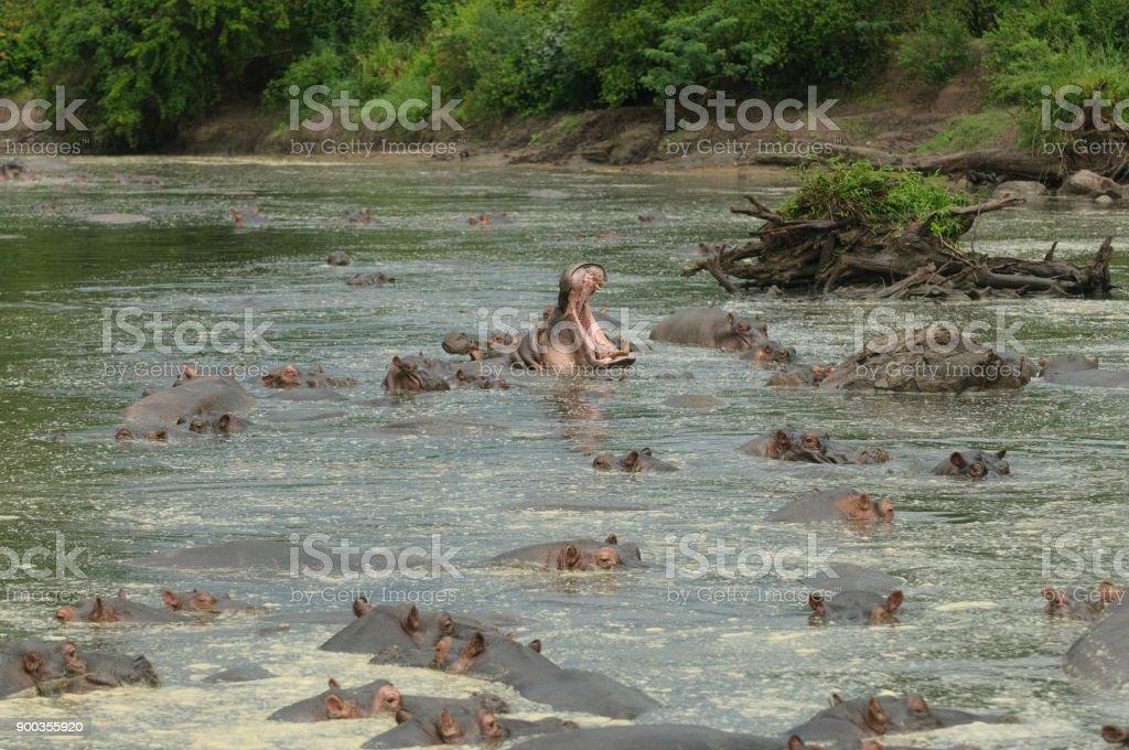 Hippopotamus in river stock photo