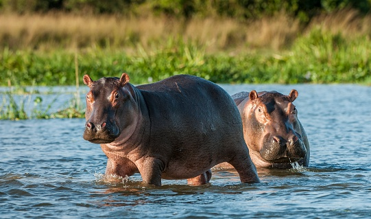 Two common hippopotamus in the water. The common hippopotamus (Hippopotamus amphibius), or hippo. Africa